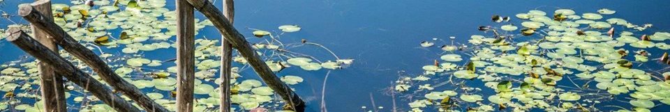 image of lilly leaves on a dam