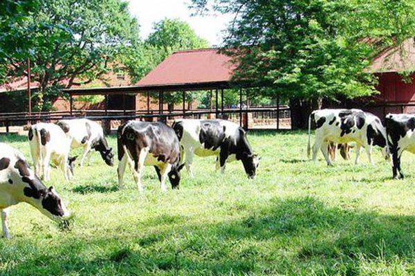 Image of cows at Irene Dairy Farm