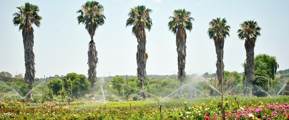 Image of palm trees and roses at Ludwig' Roses